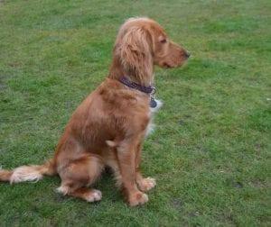Customers Dog - Tracey - Cocker Spaniel